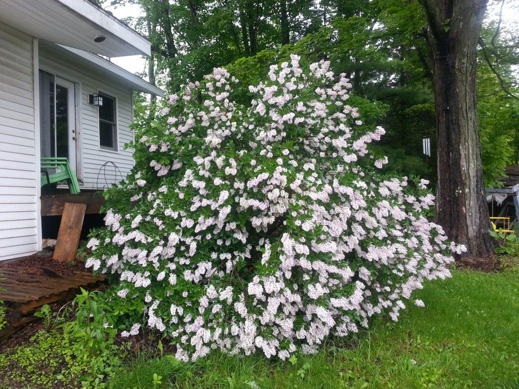 Dwarf Korean Lilac filling a corner of my yard.