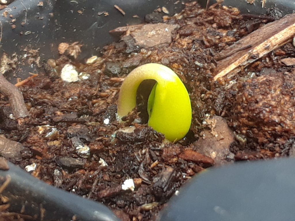 Lupine seedling, Just emerging Lupinus sprout