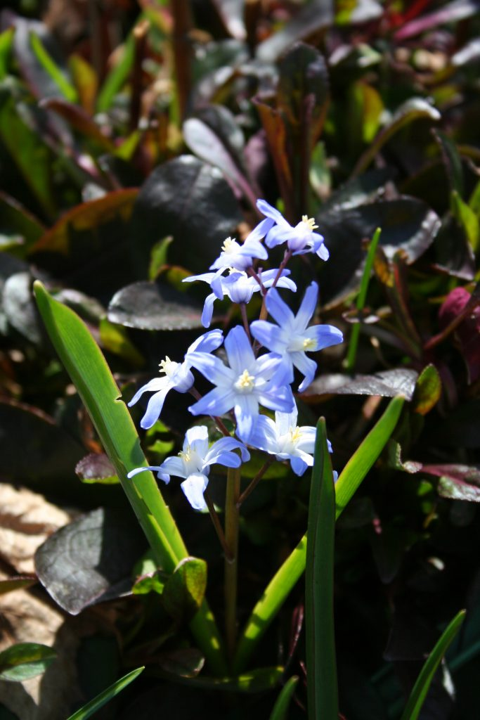 Chionodoxa luciliae and Penstemon Huskers Red in the garden in April