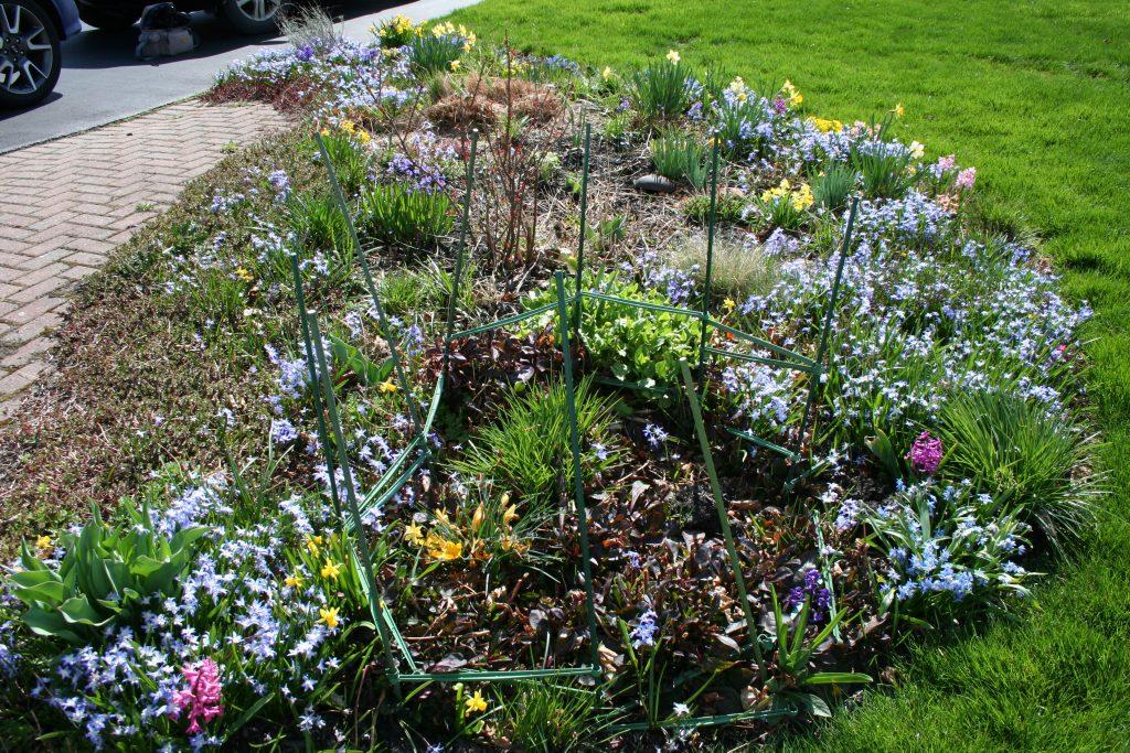 Bulbs blooming in April