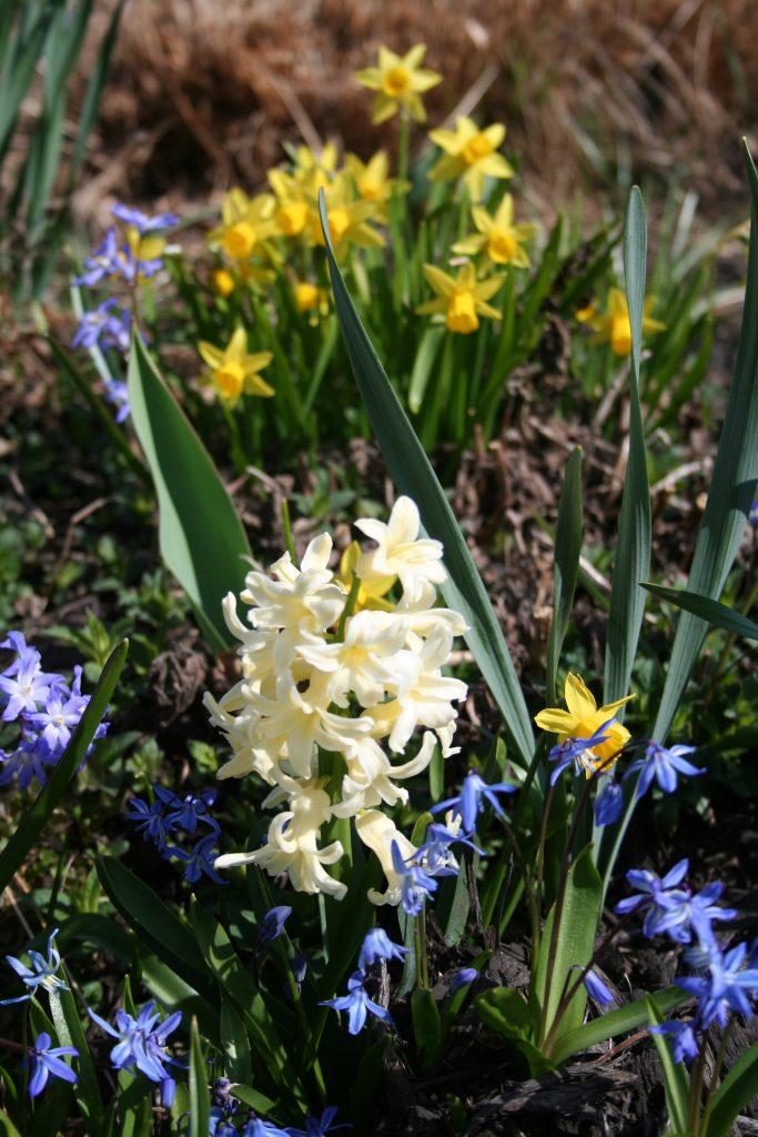 Flowering Bulbs, Hyacinth, Scilla, Daffodil