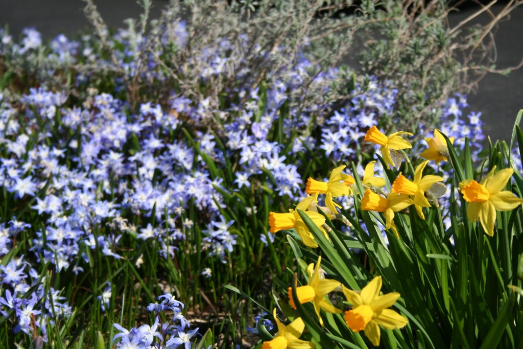 Narcissus Tete-a-Tete, Chionodoxa luciliae, Scilla, Lavender, Flowers, Purple and Yellow Flowers