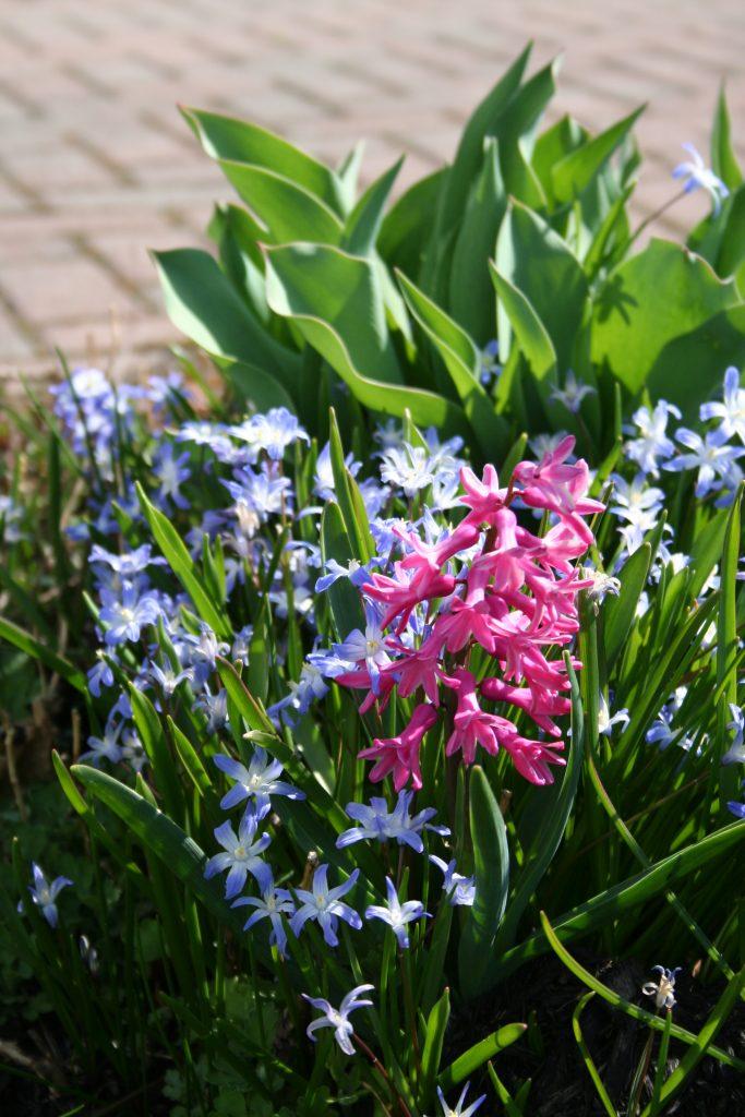 Pink Hyacinth and Chionodoxa luciliae