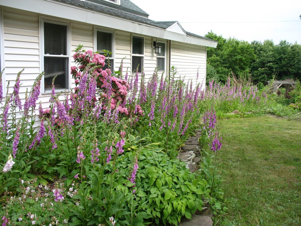 Purple and pink foxgloves in my front yard garden.