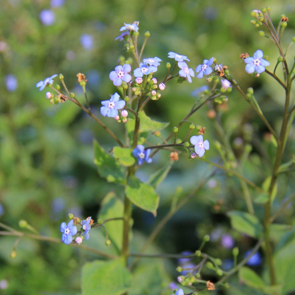 Brunnera, Jack Frost, Blue Flower, perennial, shade plant, shade garden, silver leaf