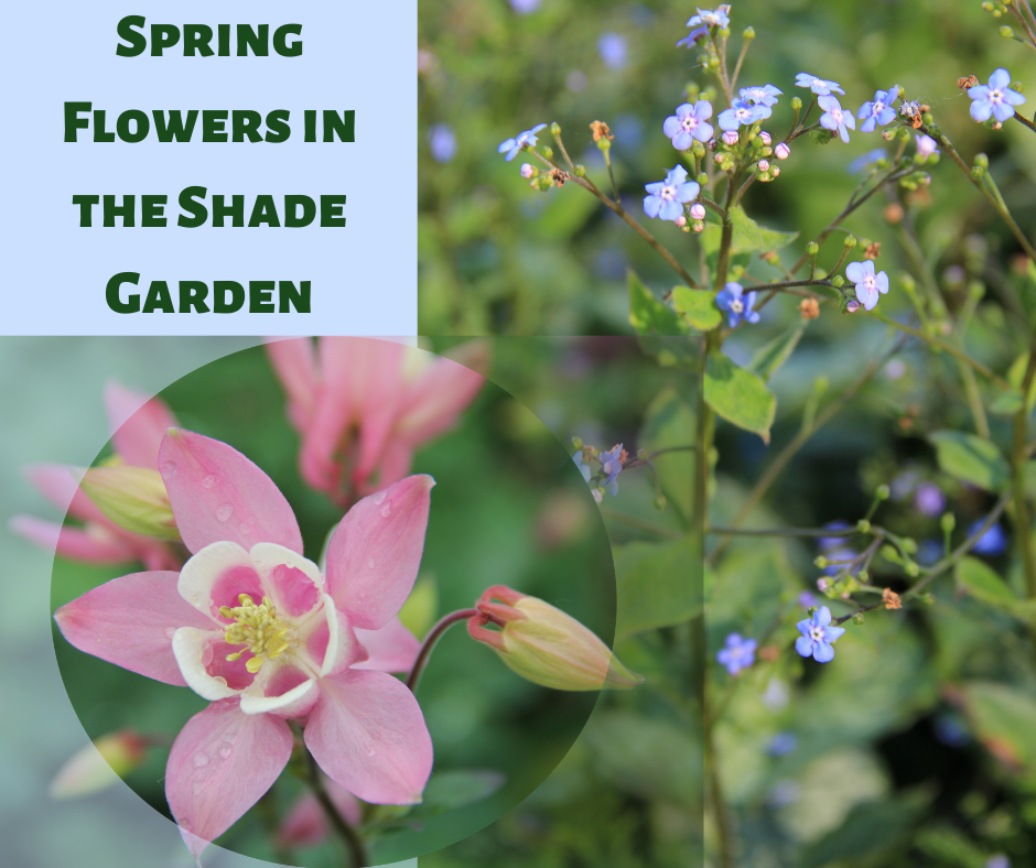 Spring Flowers in the Shade Garden, Columbine and Brunnera